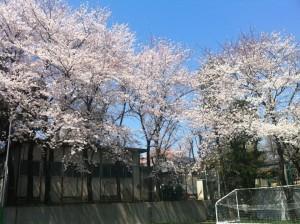 二グラの桜
